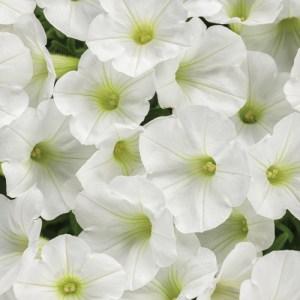 Petunia Supertunia Mini Vista White