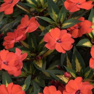Sun Patiens Vigorous Tropical Orange Imp.