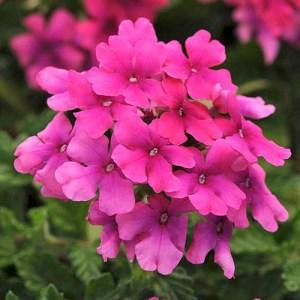 Verbena EnduraScape Hot Pink