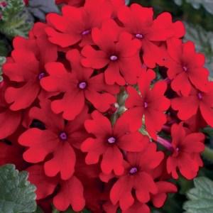 Verbena Lanai Scarlet