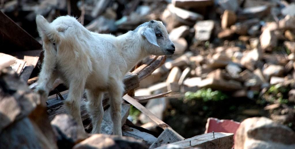 Lamb in Keura | Nepal Earthquake