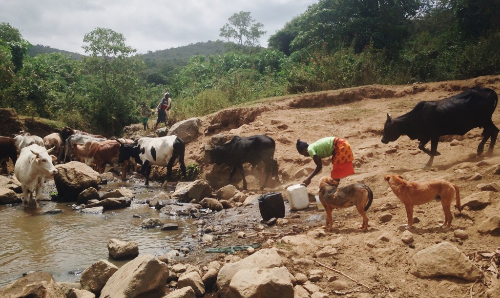 Woman collects dirty water by a herd of cows in Enariboo, Kenya.