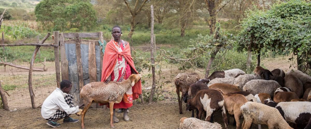 Maasai Woman cares for livestock at her home in Enariboo, Kenya