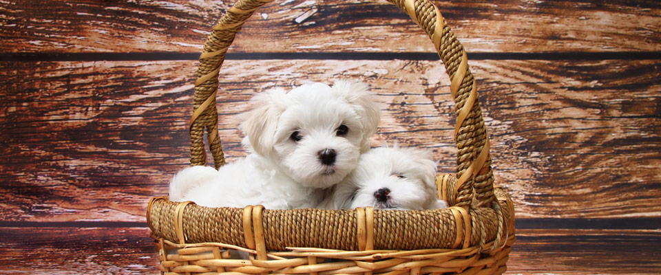 2 white, cute dogs in a basket 960