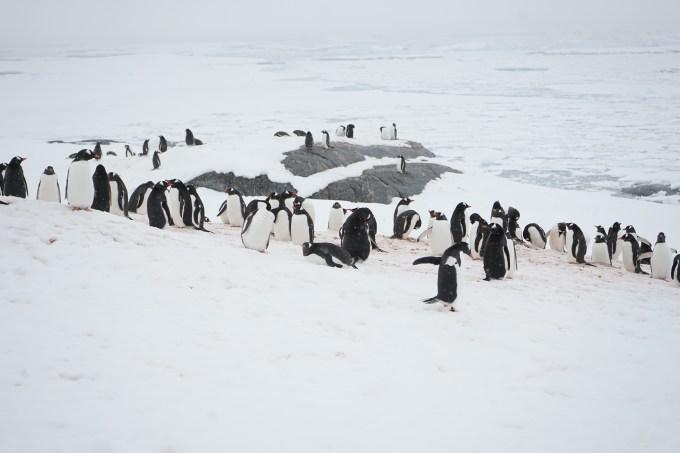Gentoo Penguins Pleneau Island