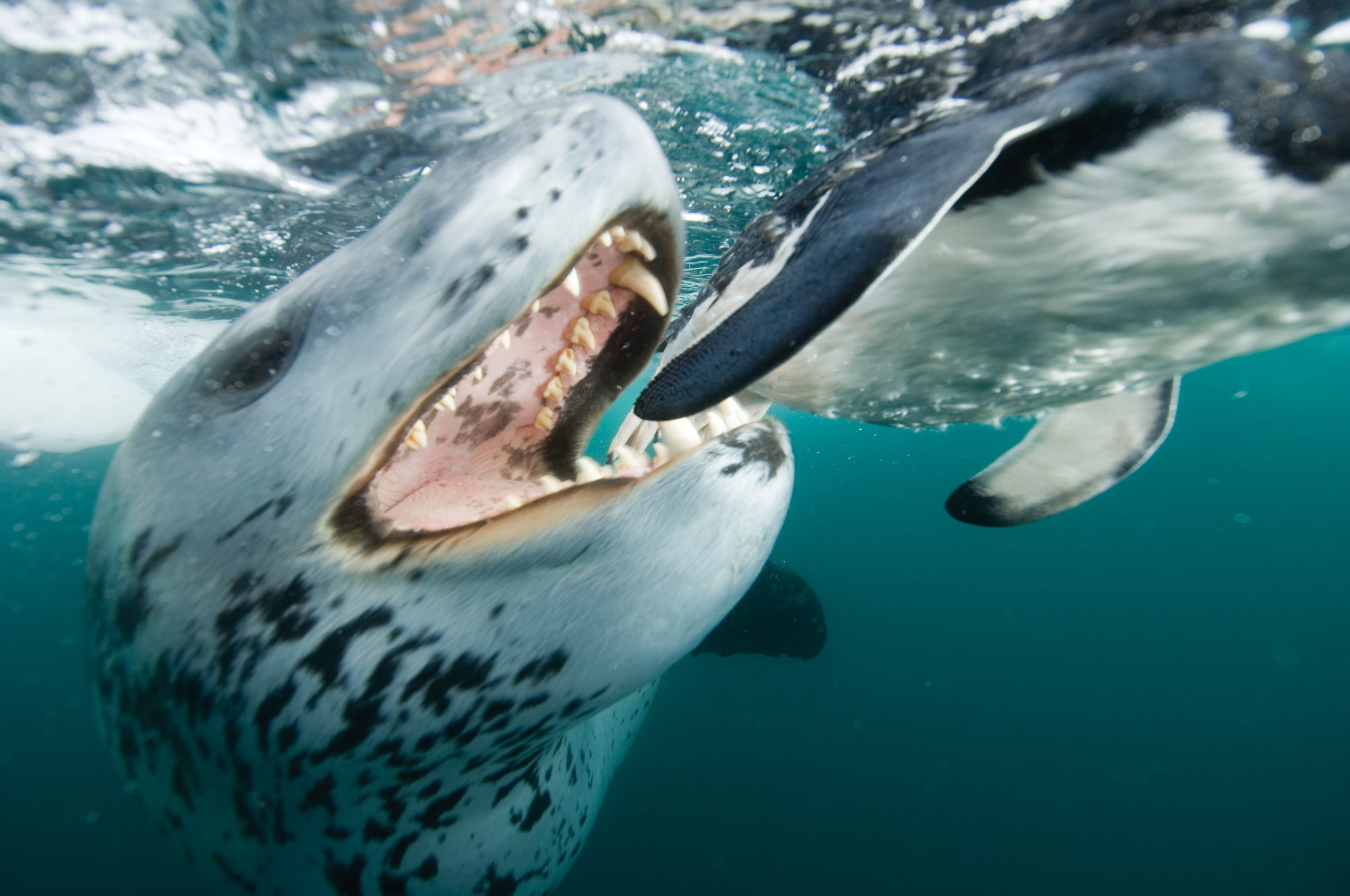 Leopard seal up close with penguin