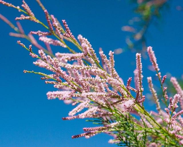 Cèdre salé - une espèce envahissante trouvée en Saskatchewan
