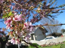 i_love_blossoms____by_captivatedimages