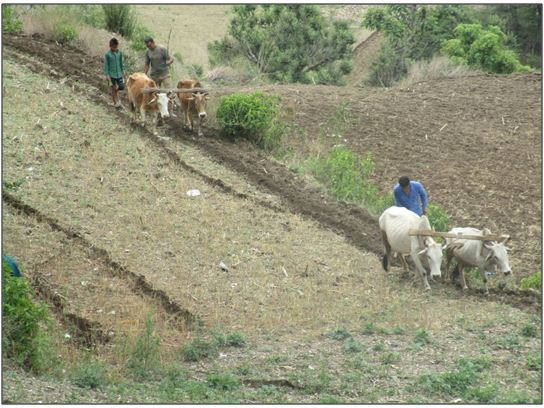 Farmers cultivating the land with pair of bullocks