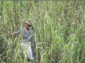 A woman during harvesting of Barnyard millet