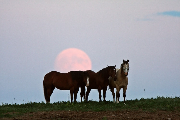 This is a photo of three brown horses standing on green grass. The sky is directly behind them. It is light blue and there is a full moon, colored light pink, right behind the horses.