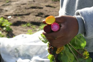 Red and golden beets grown at Tres Estrellas
