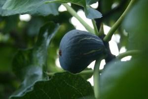 'Brown Turkey' Fig