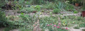 Plants uncovered as the nasturtium and salvia are cleared away