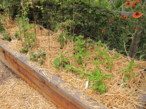 Straw is the perfect vegetable mulch. It is lightweight, but keeps weeds down and soil moist
