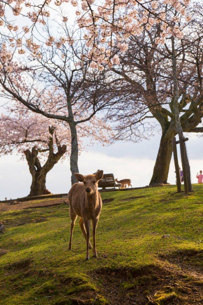 7 Nara-park-1