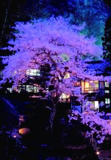 每到4月中下旬,中庭櫻花盛開