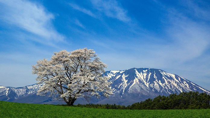 Lone Sakura Tree at Koiwai Farm