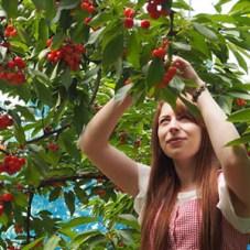 Tabea - Cherry harvesting