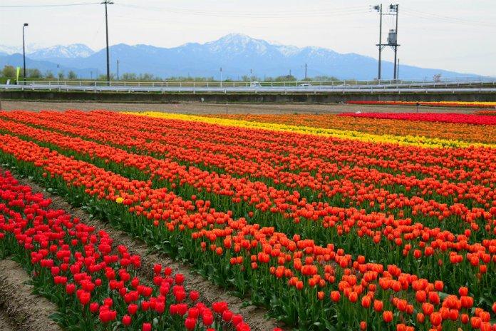 Gosen tulip festival 1