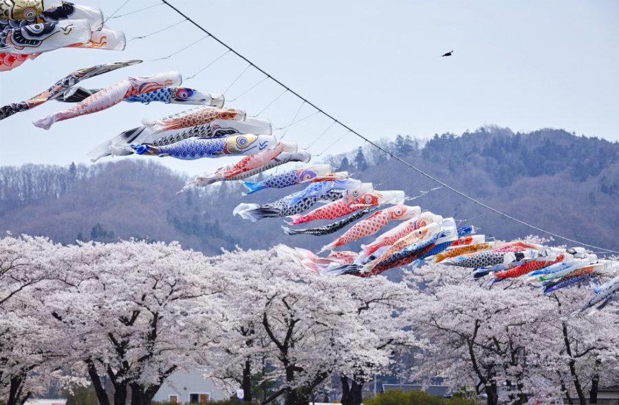 Kitakami koinobori and cherry blossoms
