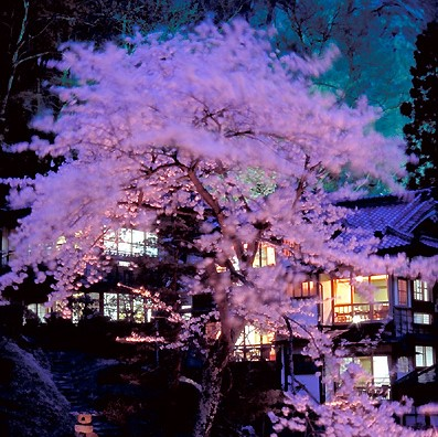 Mukaitaki Inn cherry blossom trees 1