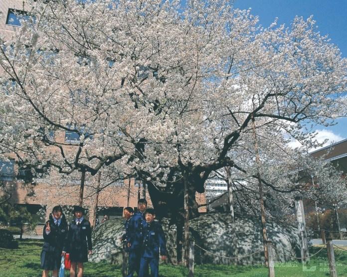 The rock-breaking sakura tree (Ishiwarizakura)