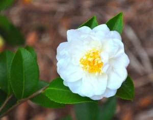 camellia ice angel