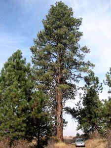 Pinus_ponderosa_8144t - wiki