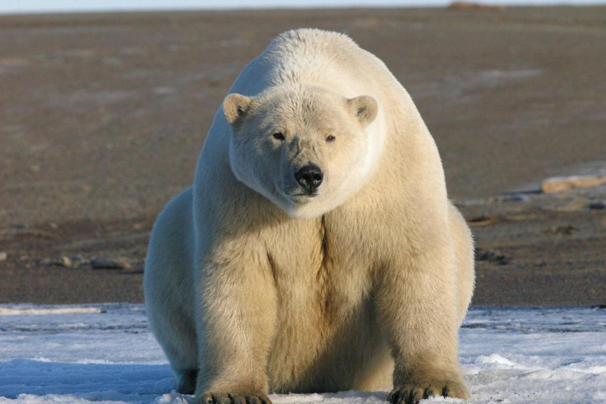 Another 'polar bears are in trouble' story… yawwwn   Watts