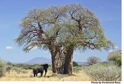 baobab_and_elephant