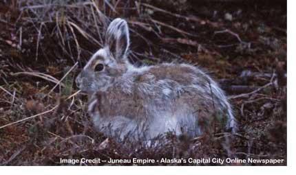 mottled_rabbit
