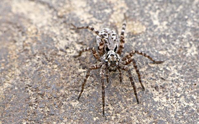 Arctic Wolf Spider