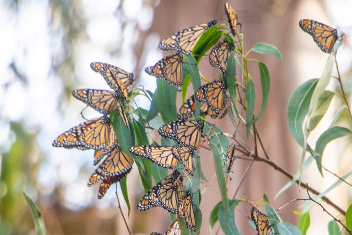 Claim: We're losing monarchs fast—here's why | Watts Up With