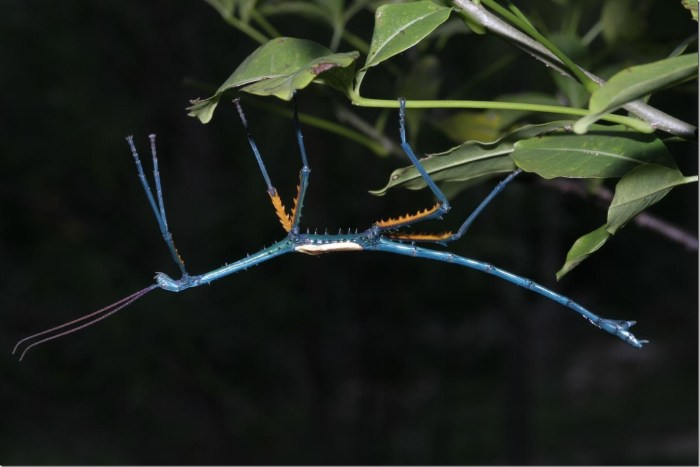 Achrioptera manga, one of two new Madagascan species discovered by Drs Glaw, Bradler and colleagues. Manga means 'blue' in the Madagasy language.  Credit: Dr. Frank Glaw