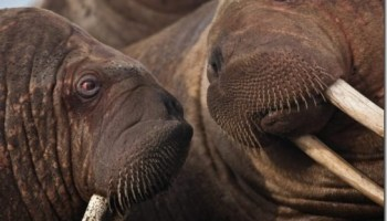 Walruses climbing cliffs and falling off them are natural