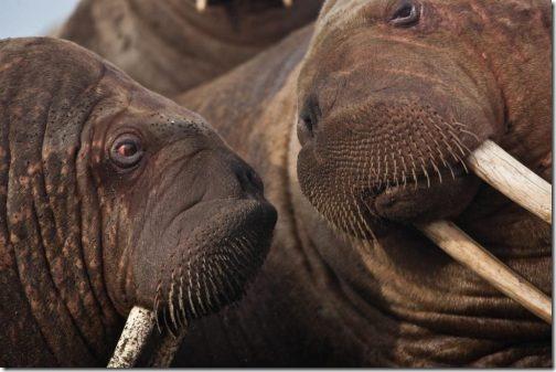 walruses2-1024x683_usgs