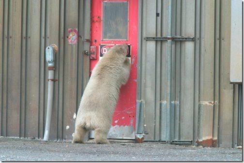 polar_bear-us-fws_young-bear-alaska-maybe-kaktovik-no-date