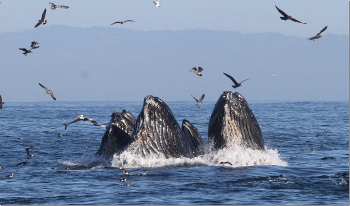 Humpback whales feed on anchovy off the Coast of California. New research shows that warm ocean temperatures pushed whales into the same water as crab fishermen, and whale entanglements increased. Credit: John Calambokidis/Cascadia Research Collective