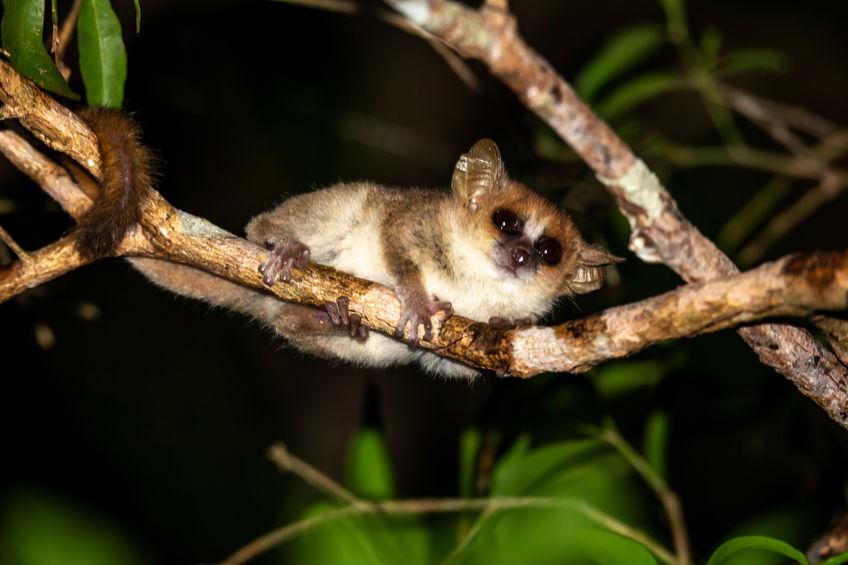 Hibernating lemurs may be the key to cryogenic sleep for human space travel