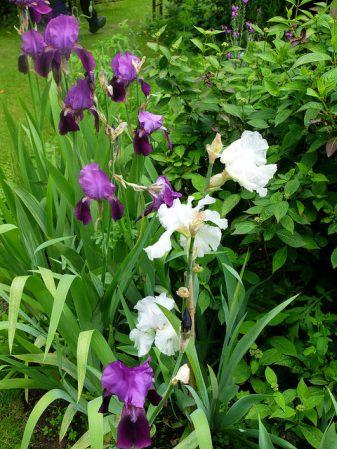 Iris edel kombiniert