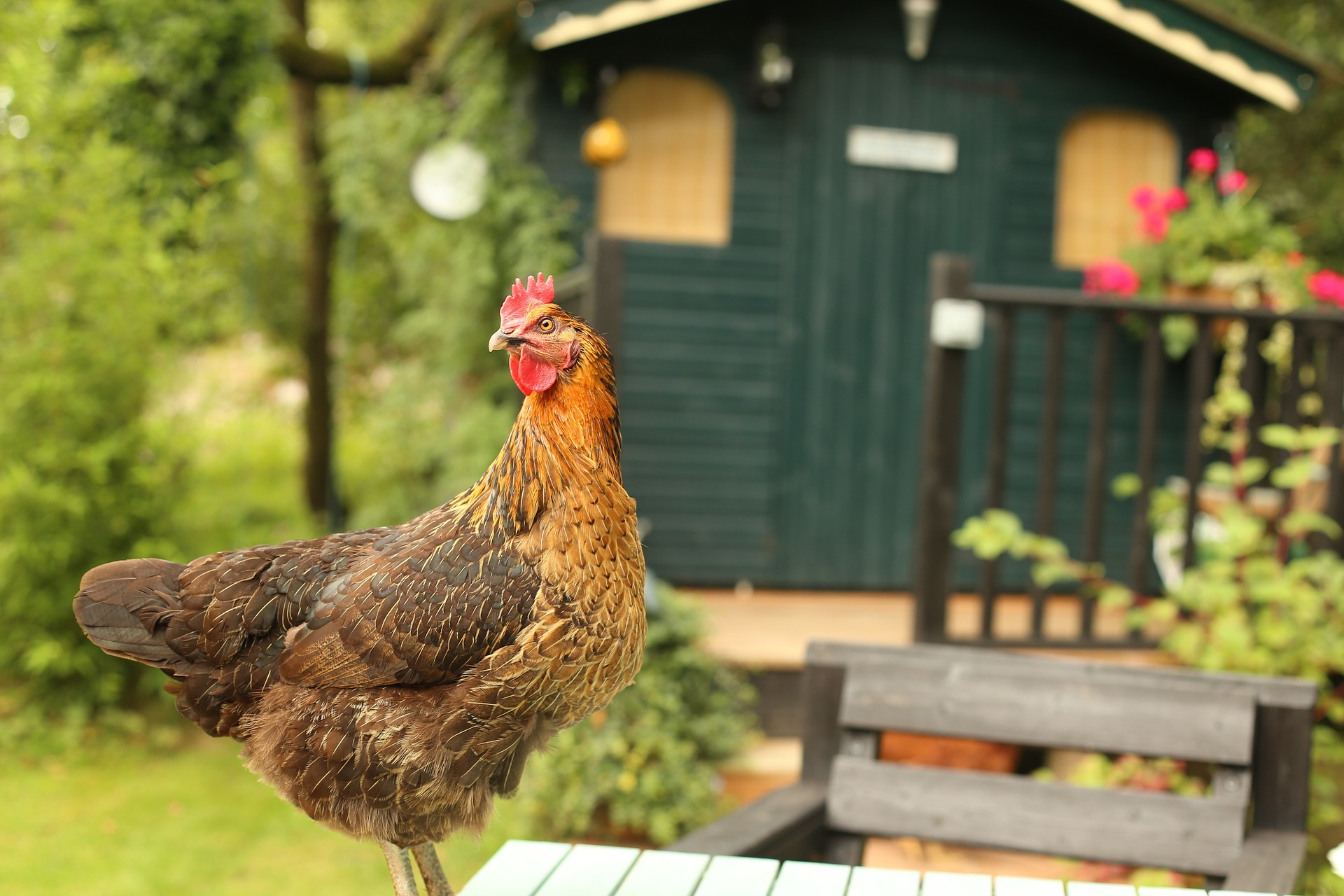 backyard chickens approved in wausau u2013 wausau pilot u0026 review