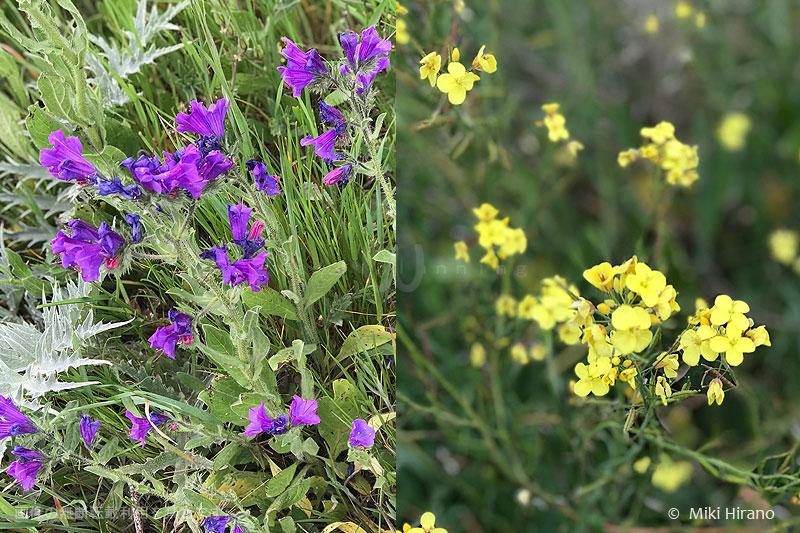 お花畑の黄色と紫の花はこんな感じ。