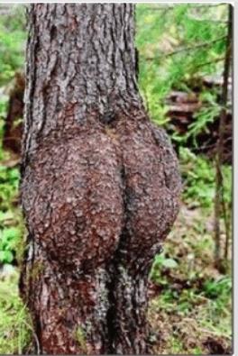 BUM TREE