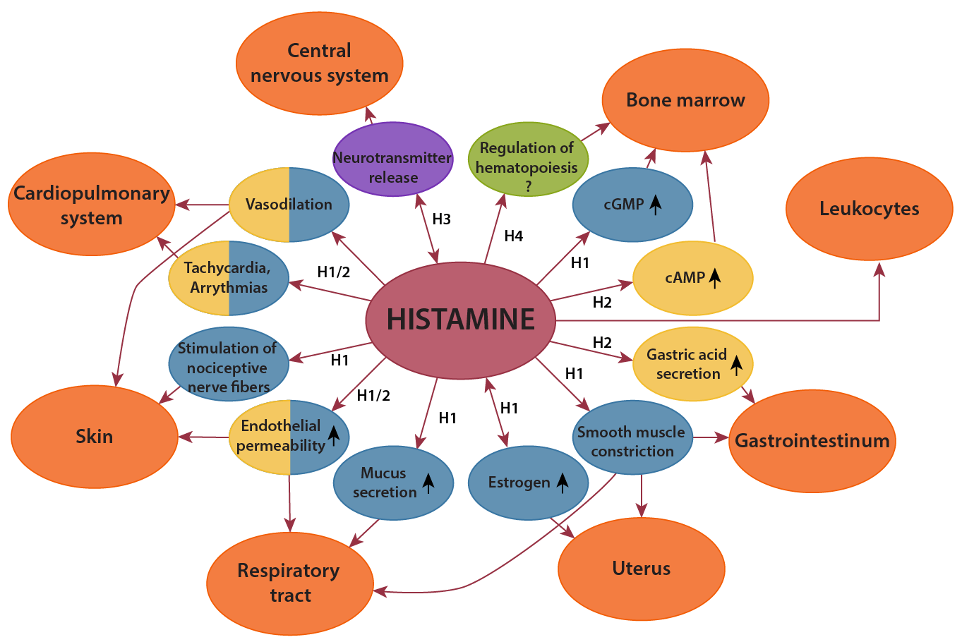 Histamine-receptors-and-effects.png