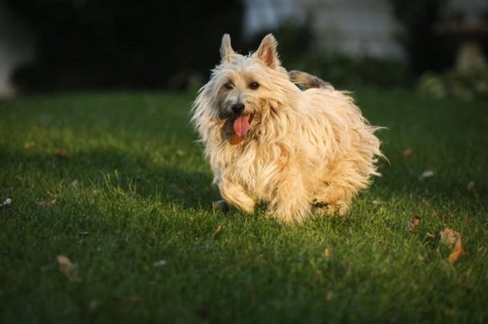 Grooming A Cairn Terrier for How To Trim A Carin Terriers Face