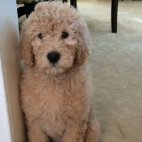 Pictures Of Teddy Bear Golden Doodle Cut