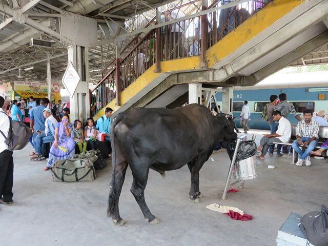 バラナシの駅にいる牛