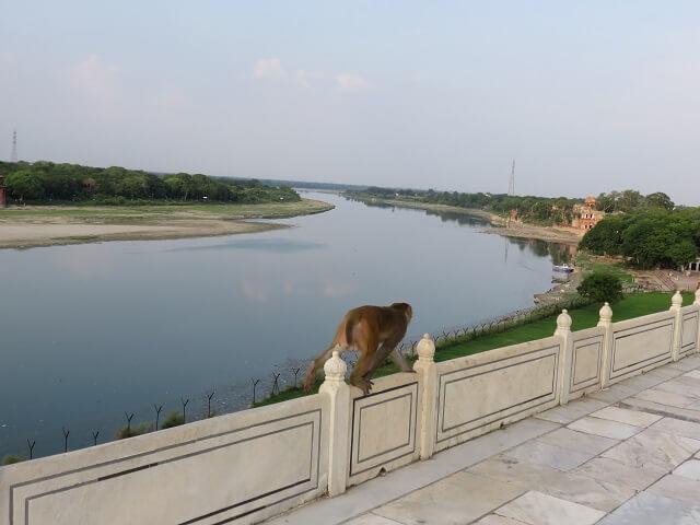 アグラのタージマハルにいた猿