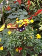 Hypolimnas bolina/eggfly/blue moon butterfly